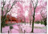 Cerisier en fin de floraison