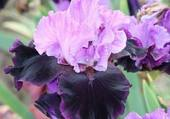 bel iris mauve violet