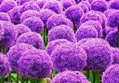 champs de fleurs d ail