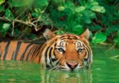 tigre se baignant