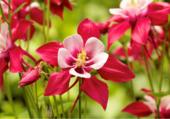 Columbilis Ancolie des jardins