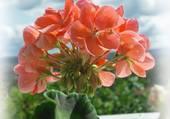 fleur de geranium