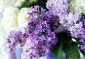 oeillets et lilas mauve