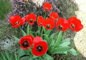 Tulipes à Montilliers (49)