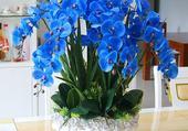 potée d'orchidées