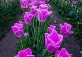 Puzzle champs de tulipes