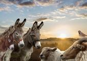 ânes moutons