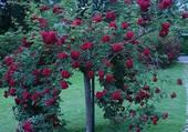 rosier retombant