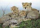 Guépards Kenia
