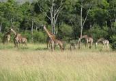 Puzzle Girafes Kenia