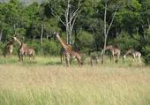 Girafes Kenia
