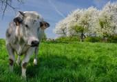 Puzzle La vache est dans le pré