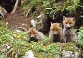petits renards