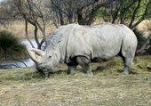 Rhinocéros parc Kruger