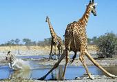 Girafes et zèbre