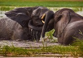 Puzzle Eléphants d'Afrique