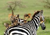 Zèbre d'Afrique