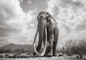 éléphante longues défenses