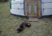 chien en mongolie