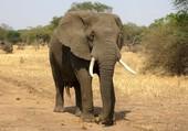 Puzzle Eléphant d'Afrique