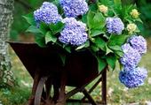 brouette d'hortensias