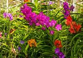 Variation de couleur dans les orchidées