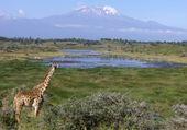 Girafe Kenia