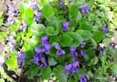 Puzzle les violettes