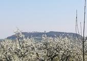 mirabelles de Meuse