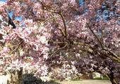 Puzzle Magnolia
