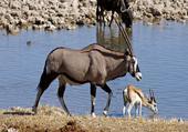 maman Oryx et son petit