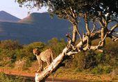 Guépard Afrique
