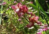 l'iris du printemps