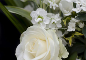 jolies roses blanches
