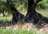 au pied des oliviers