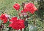 Rose de l'Amour !