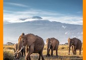 Elephants d'Afrique