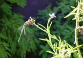 Butinant insecte