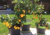 Mes oranges et mes citrons