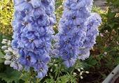 Puzzle delphiniums bleu clair