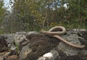 L'orvet n'est pas un serpent
