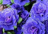 begonias bleus (?)