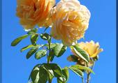 roses thé