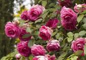 rosier rose profond