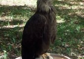 le faucon de thierry
