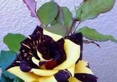 une rose exceptionnelle