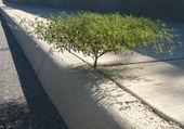 L'arbre et le trottoir