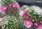 cactus fleuris
