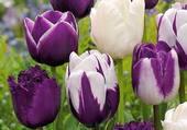 tulipes deux couleurs