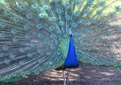 Paon au parc des oiseau